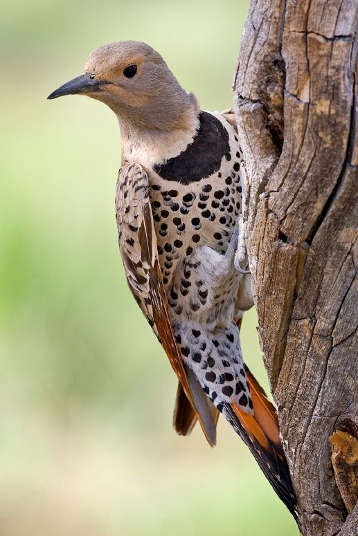 Yellow-Shafted Northern Flicker {Female} (Colaptes Auratus) © Nature's Pic's (www.naturespicsonline.com)