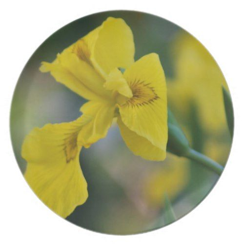 Yellow Iris Flower And Its Meaning Plate Zazzle Com Iris Flowers Indian Flowers Flowers