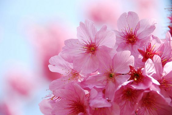 横浜緋桜 -Yokohama Hizakura- by naitokz, via Flickr