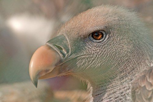 Funny Wildlife, Ruppell's Griffon Vulture!!