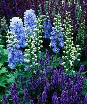 SHADES OF BLUE;  Delphinium and Salvia: