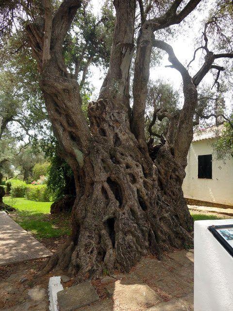 Oliveira com mais de 2200 anos.Portugal