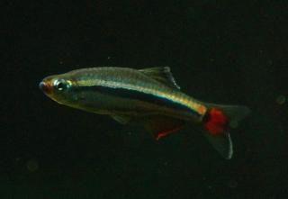 Venusfisch