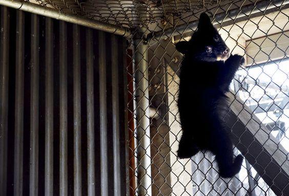 Black bear orphan cub