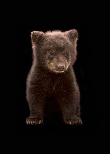 """An American black bear cub illegally taken from the wild spent about 10 days at an Oregon Zoo keeper's home before moving to a Midwest zoo. """"And yes, should you already wonder, the bear rearranged every refrigerator magnet he could reach."""" ~photo by Michael Durham/Oregon Zoo"""