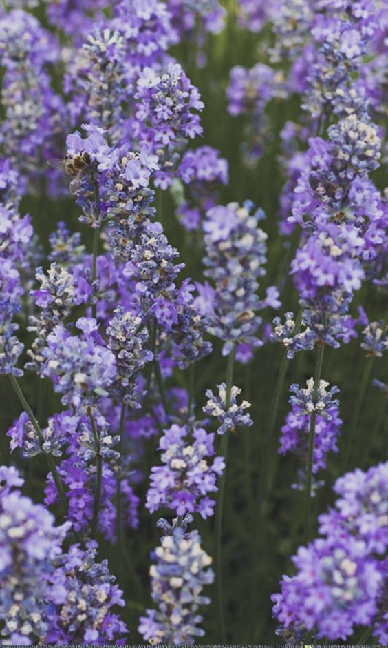 Lavender hails from the mint family and is a native of the Mediterranean. It's been used for over 2,500 years for its purifying, relaxing and protective benefits.* Get the 101 on our Plant Power Journal.