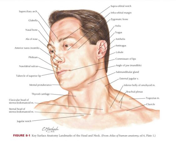 Surface anatomy of the head and neck region | Nursing ...