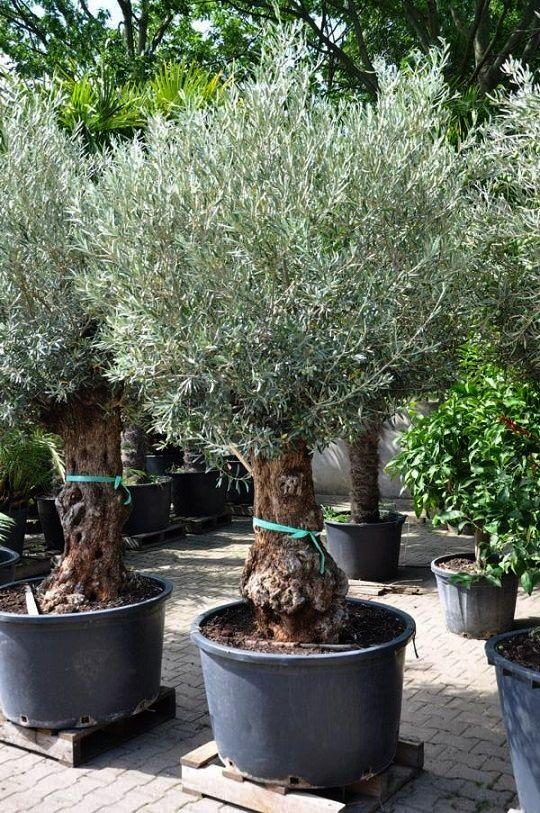 Olivenbaum Hojiblanca Frosthart Olivenbaum Trockengarten Olivenbaumchen