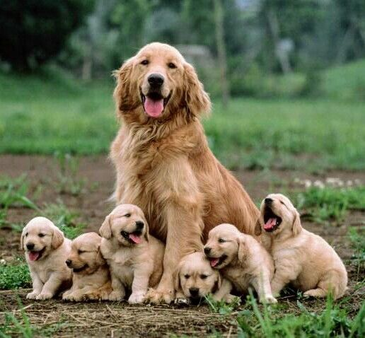 Golden Retriever With Her Puppies Learning That Famous Smile Early