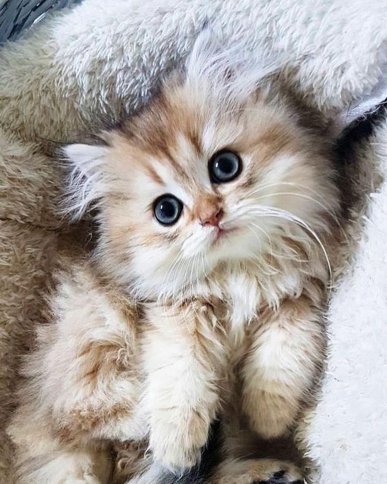 Super Fluffy Kitty Interested About Camera Fluffykitty Cutekitty