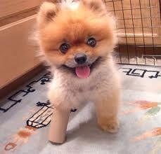 Cute Poofy dog