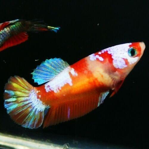 Live Betta Fish Multicolor Galaxy Hmpk Female From Indonesia Breeder Ebay In 2020 Betta Fish Betta Breeders