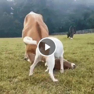 Cachorro brincando com a vaca
