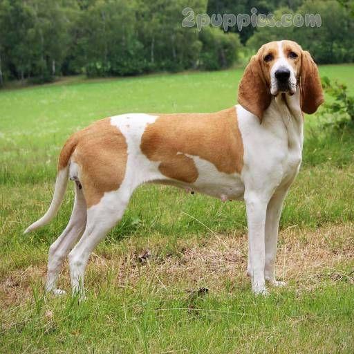 Swiss Hound Hound Dog Breeds Dogs Dog Breeds