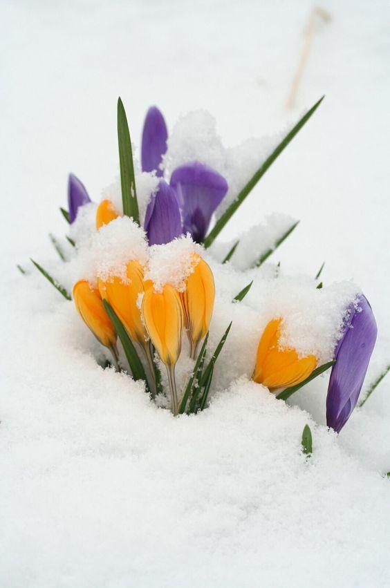Snowy Crocus