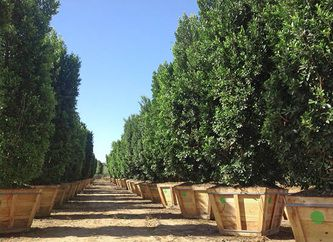Ficus Nitida can be used in many applications including making a great screen or hedge. The Ficus Nitida is the number one seller for this type of application and grow locally by Moon Valley Nursery. Stop in and take a look at the Ficus Nitida columns at any Moon Valley Nursery