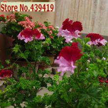 50 pçs/saco Real de gerânio, Perene flor sementes bonsai planta, Para jardim flor de vaso(China (Mainland))