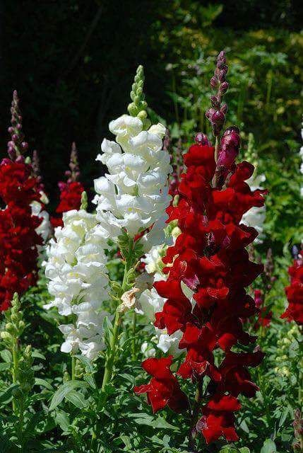 Beautiful red and white snap dragons: