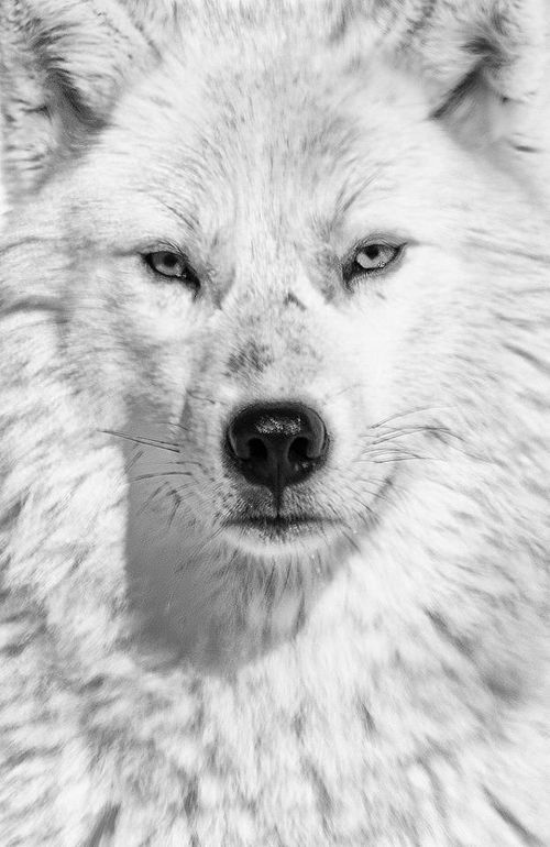 Arctic Wolf~  Greetings, human. Welcome to the Arctic. lol XD fuckyeahwolves.tu...