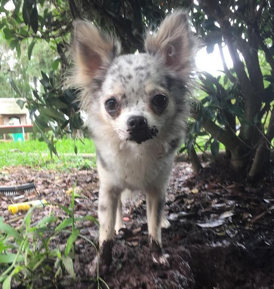 19 Things All Chihuahua Owners Must Never Forget With Images Chihuahua Owner Chihuahua