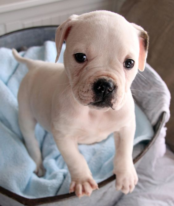 American bull dog puppywhen we adopted Brindle from the