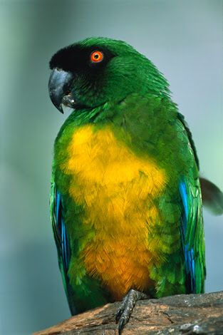 Masked shining parrot (NT)