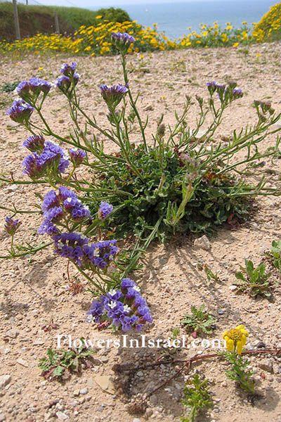 LIMONIUM SINUATUM | Jardineria | Pinterest | Search