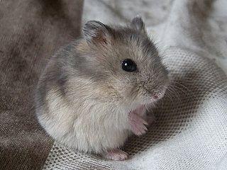Djungarian dwarf hamster. Looks just like my pet hamster Muffin!