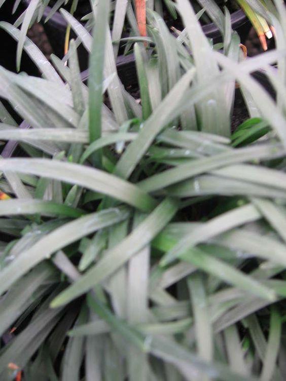 Ophiopogon japonicus nanus Dwarf Mondo Grass — Warners Nurseries