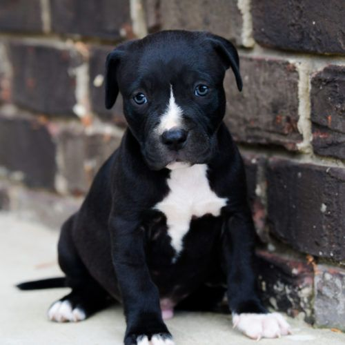 Red Nose Pitbull Puppies For Sale Pitbull Puppies Puppies