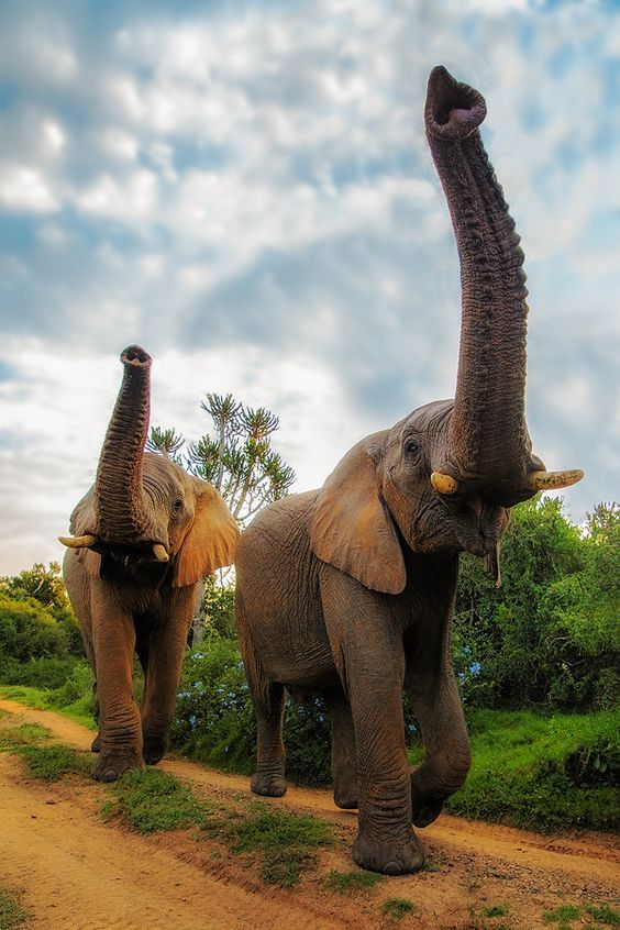 Elephants - Eastern Cape, South Africa - one day I shall see these magnificent animals in the wild.: