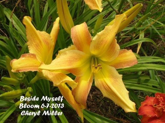 Day Lily Beside Myself