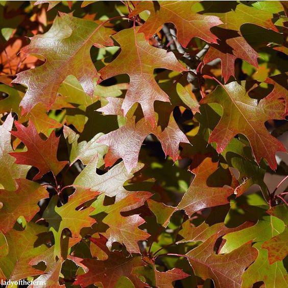 These red oaks were just starting to turn. #sedonaaz #sedona #fall #autumn #autumnleaves #fallleaves #red #green #az #azlove #arizona #arizonalife #arizonalove #iamabotanist #botany #botanical  #naturelovers #naturesbeauty  #instanature #tree #trees #fallcolors #fallcolor #fallcolours