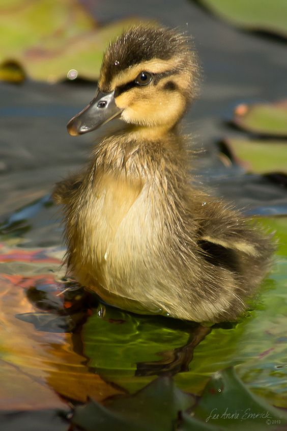 Kiddie pool duckling in a lily pond by lalight - How do i keep ducks out of my swimming pool ...