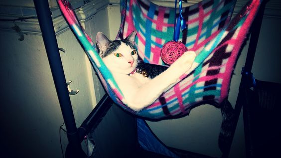 Cici Cat | Pawshake