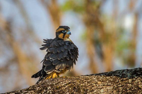 Young Aplomado Falcon by Bertrando Campos on 500px