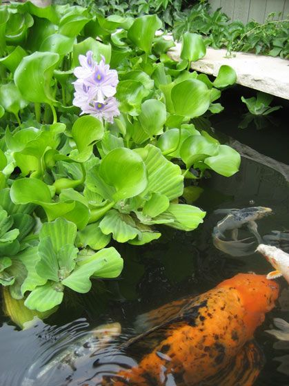 Pinterest the world s catalog of ideas for Best plants for koi pond