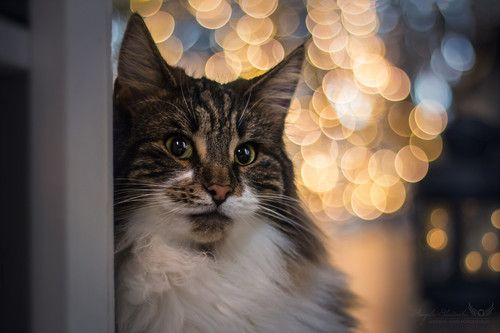 Norwegische Waldkatze Mit Bildern Tierfotografie Tiere Katzen
