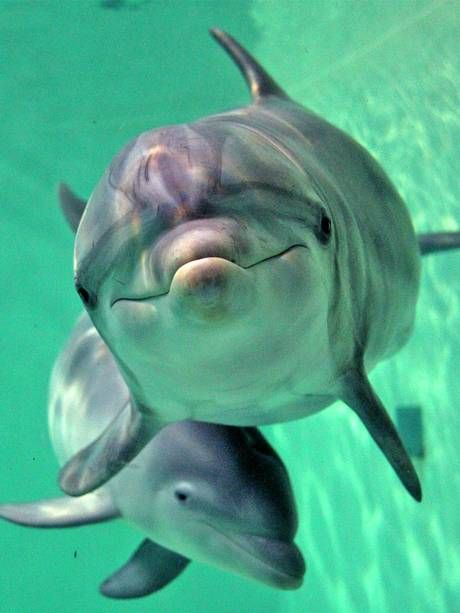 A few of my favorite facts about bottle-nosed dolphins:  -->They have 100 teeth;   -->Some can hold their breath for 30 minutes;   -->May eat up to 30 lbs of fish a day;   -->Babies can stay w/their mother for 2 to 3 years;  -->They can live to be 50 years old!: