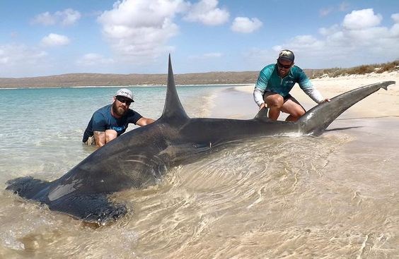 January 2016: Joshua Butterworth, left, and Jethro Bonnichta with the 13.5-foot hammerhead shark they caught from an Australian beach (one of 20+ caught that trip). All sharks were released to the wild.