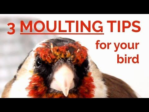 Moulting Molting 3 Easy Tips To Help Your Bird Moult Youtube Molt Bird