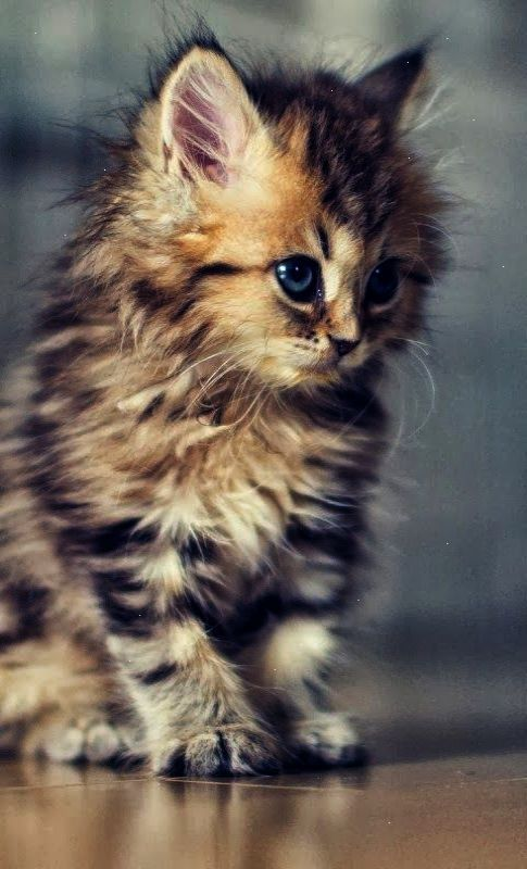 Awesome Cute Kitten Meowing Gif Super Kittens Cutest Cute