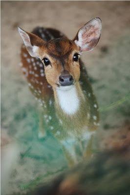 Rehkitz   Reh   Bambi   Deer