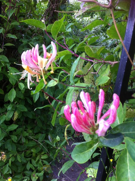 Honeysuckle. Can't remember the variety but it is darker than usual and lovely.