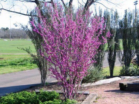 Cercis Judas Tree 16 Pot Hello Hello Plants Garden Supplies Judas Tree Plants Garden