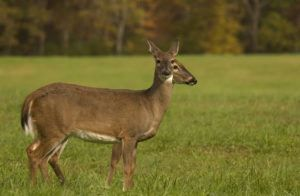 Two deer in the Smoky Mountains