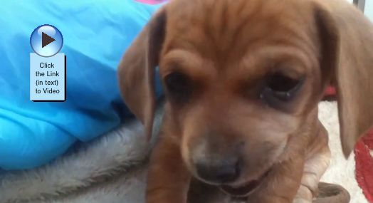 love this dog's big floppy ears! #video  http://www.dogvideooftheweek.com/videos/view/2399  #dvotw