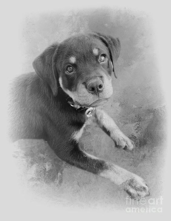 Cute Rottweiler Puppy Black And White By Elisabeth Lucas In 2020 Rottweiler Puppies Rottweiler Puppies