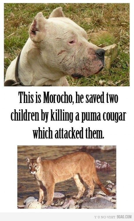 MOROCHO, THE HERO~ SAVED TWO YOUNG GIRLS FROM A PUMA ATTACK. ALL OF THESE STORIES NEED TO BE PUBLICIZED, NOT JUST THE VERY FEW BAD STORIES ABOUT PITS! Dogs 101 - Dogo Argentino    http://www.youtube.com/watch?v=CwrAXNfcgns#   Precious is as precious does. I live for the day these misunderstood & much maligned furkids are once again revered as the sweet, loving, protective babies they actually are.  Educate everyone you know about how wonderful they really are!  AMAZING ANIMALS!
