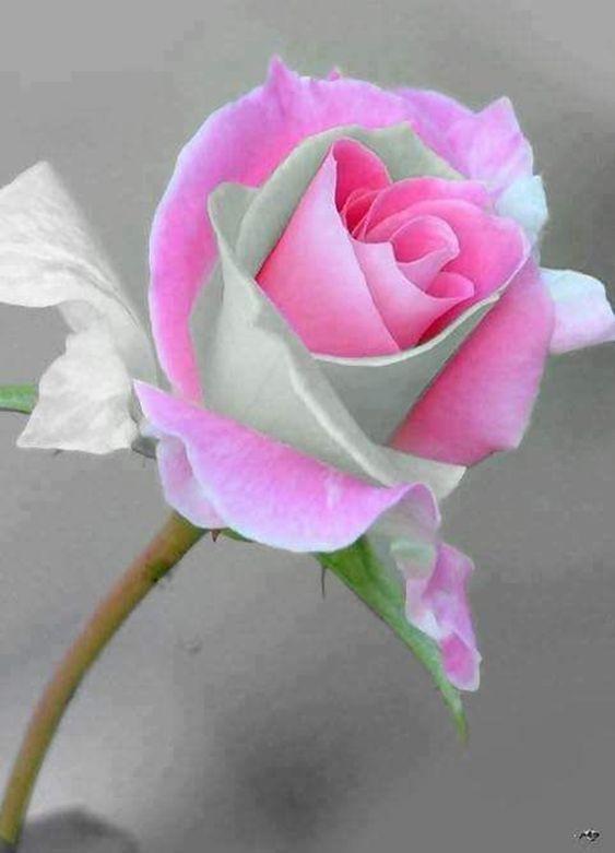 Rosa de petalos blancos y rosa el rosal es una planta de arbustos espinosos pertenecen a la familia de las rosáceas El número de especies ronda las cien la mayoría son originarias de Asia y un reducido número nativas de Europa, Norteamérica y Ãfrica noroccidental la rosa es utilizada en perfumería y cosmética, usos medicinales (fitoterapia) y gastronómicos